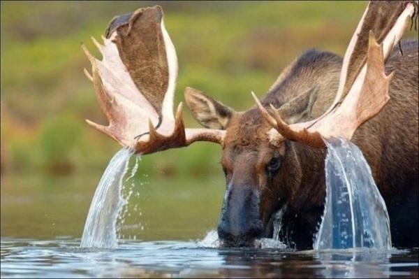 конкурс охота на лося 3