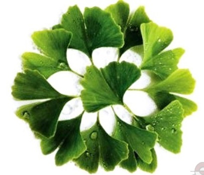 ginkgo-biloba-leaves_enl